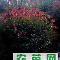 大量、 红叶石楠、大叶女贞、乌桕、紫薇、桂花、香樟、等