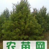 低价供应白皮松1-6米大号国槐.臭椿.皂角树.柿子树等