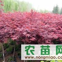 日本红枫 北美系列  樱花 紫叶李 红叶桃