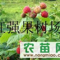供应百万占地种苗,占地树莓苗,占地树莓