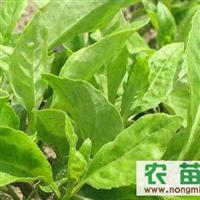 长命菜、富贵菜、降糖草,长命菜种苗、富贵菜种苗、降糖草种苗