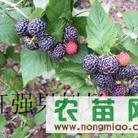 黑树莓 黑树莓种苗 黑树莓种植