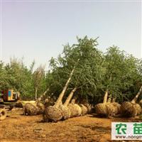 低价直供18公分银杏树