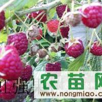 树莓,双季树莓,树莓苗,树莓价格,树莓图片,树莓种植
