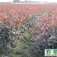 红叶石楠、桂花