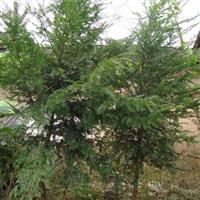 出售红豆杉等苗木