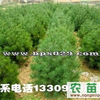 西安绿景白皮松苗木种植基地|白皮松|白皮松价格