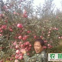 本公司大量苹果苗,樱桃苗