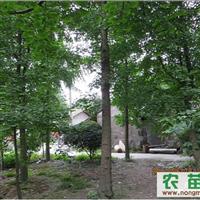 低价出售各种规格银杏树,及各种绿化工程苗木!