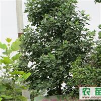 低价出售各种规格鹅掌楸(马褂木),及各种绿化工程苗木!