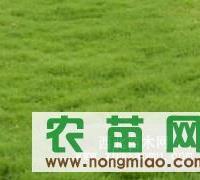 安徽马尼拉草坪1
