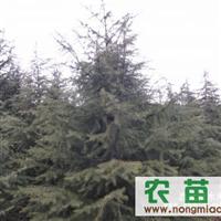 南京雪松树价格 雪松价格 15996375585