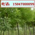 供应3-15CM 国槐、刺槐等绿化树苗