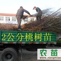 桃苗-优质产量高桃苗-桃树苗-山东桃树苗-桃树苗品种