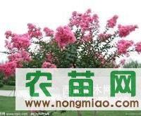 大量紫薇小苗出售