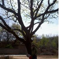 皂角风景树
