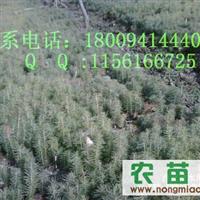 各种规格云杉、油松树苗,云杉种子