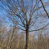 批发供应大径级五角枫树(15-30公分),量大优惠