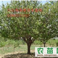 常年供应八棱海棠树及各种苗木