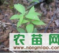 本园林大量供应金丝楠木幼苗