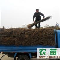 安徽供应:青檀树苗