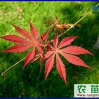 红枫当年苗