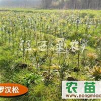供应罗汉松 红豆衫苗 高档绿化观赏树种