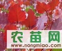 供红叶杨,红叶杨国槐价格,占地树