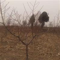 紧急处理高4米桧柏,4-15公分桃树,价格低廉