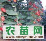 供应大量枸杞苗,2-3公分枸杞树