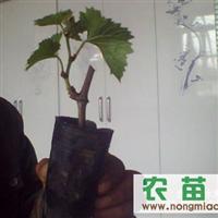 供应营养钵巨峰葡萄苗赤霞珠葡萄苗