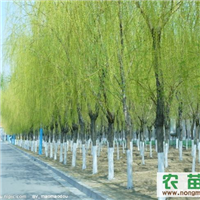 垂柳苗木直销:2-6cm垂柳现货供应 陕西垂柳大量优惠销售