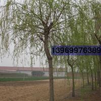供应柳树、金丝垂柳