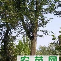 全规格 榉树价格