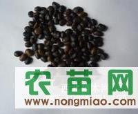 ◆▨ ▩ 国槐籽的树冠形状◆出售槐树籽颗粒70%需要水分 ◆
