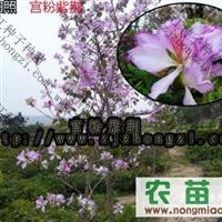 供应宫粉紫荆种子