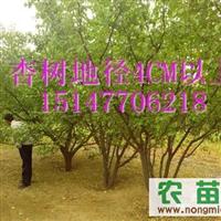 出售大杏树,地径4-6,6-8,8-10CM