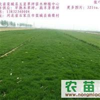 河北草坪直销张巧彦供应张家口绿化用草坪。