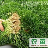 河北张巧彦供应兰州,内蒙草坪,夜雨-球场