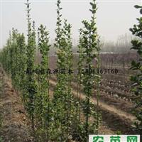 供应各种规格北海道黄杨 1-4米北海道黄杨 黄杨小苗 冠幅大