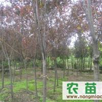 绿化苗木   乔木   红叶李
