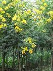 """绿化乔木   乔灌木   聚宝""""黄金树""""的美称-- 黄花槐"""