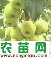 供应广西大果山楂苗 中国大果山楂苗 山楂苗