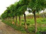 供应榆叶梅 白蜡,国槐、法桐、垂榆。等绿化苗木