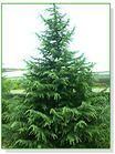 出售4-10米雪松各种规格香樟,广玉兰等苗木