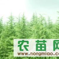 南京棉场苗圃_供应雪松、广玉兰、香樟、马褂木等各种绿化苗木