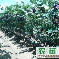 常年大量出售京亚1--10年葡萄树苗价格面议数量不限量大优惠