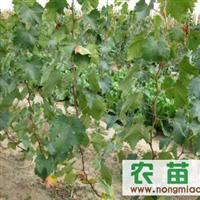 大量出售各种葡萄树、葡萄苗、占地苗、贝达苗、巨峰苗