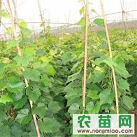 常年大量供应贝达葡萄树苗 价格面议 数量不限