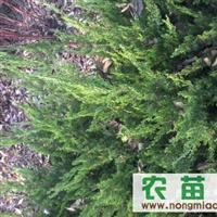 常年出售各种1-3年绿化苗木